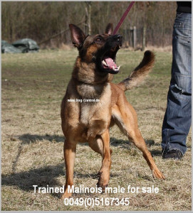 Malinois for sale Diensthunde Polizeihunde Schutzhunde